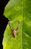 Spindel på leafen Royaltyfri Foto