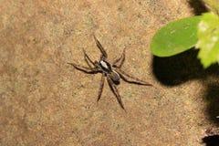 Spindel (Pardosa monticola) Arkivfoto