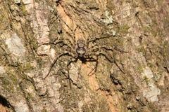 Spindel (Philodromus sp f) arkivbild