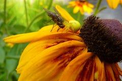 Spindel som äter en fluga royaltyfria foton