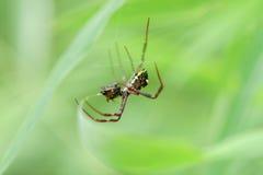Spindel som äter felet på netto från rainforest Arkivbilder