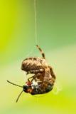 Spindel som äter skalbaggen Royaltyfria Bilder