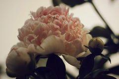 Spindel som bevakar den rosa pionen Royaltyfria Bilder