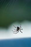 Spindel som bygger en rengöringsduk Fotografering för Bildbyråer