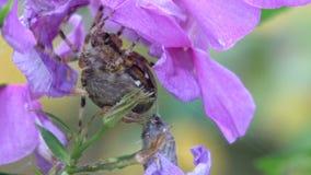 Spindel som fångar en fluga stock video