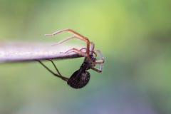Spindel som hänger av en tabell Royaltyfri Bild