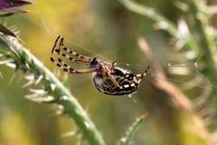 Spindel som hänger från en tråd Arkivbild