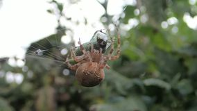 Spindel som injicerar med gift en gräshoppa lager videofilmer