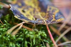 Spindel som kryper på höstbladet i skognaturbakgrunden arkivfoto