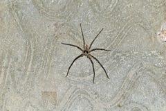 Spindel som missa ett ben på cementväggen, når att ha slagits royaltyfri foto