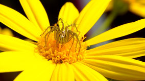 Spindel som sätta sig på den gula blomman Royaltyfri Fotografi