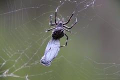 Spindel som slår in en fjäril Arkivfoto