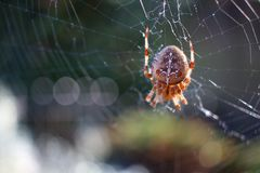 Spindel som väntar på dess offer - allhelgonaaftonbegrepp fotografering för bildbyråer
