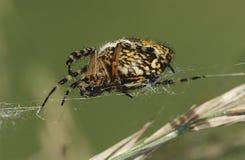 Spindel som väver nära övre för rengöringsduk Arkivfoto