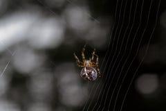 Spindel som väver rengöringsduk Royaltyfri Foto