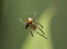 Spindel supermakrosommar för 2009 blomma Arkivbild