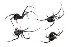 Spindel svart änka, röd baksida, kvinnligsikter som isoleras på vit Arkivbild