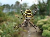 Spindel-Wasp Royaltyfria Bilder