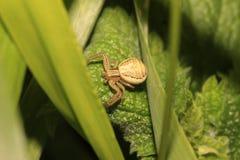 Spindel (Xysticus erraticus) royaltyfri fotografi