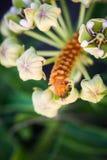Spindelantelopehorninflorescence och larv Arkivfoton