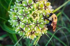 Spindelantelopehorninflorescencen och stapplar biet Arkivbild