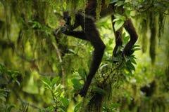 Spindelapa/Guatemala Fotografering för Bildbyråer