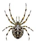 SpindelAraneus Diadematus Royaltyfri Foto