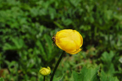 Spindelblomma Royaltyfria Bilder