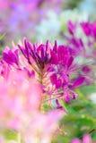 Spindelblomma (Cleomespinosaen) Royaltyfria Bilder