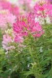 Spindelblomma i blom Arkivfoton