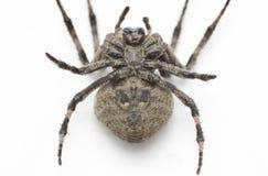 Spindelbotten beskådar Arkivfoto