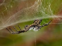 Spindelcyrtophoracitricola som hänger från dess spindelnät Arkivbilder