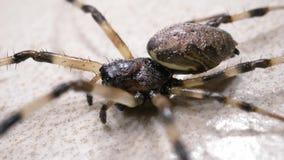 Spindelflyttningar långsamt lager videofilmer