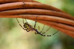 Spindelgeting, Argiopebruennichi royaltyfria bilder
