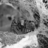 Spindelhemliv upp slut Royaltyfria Bilder