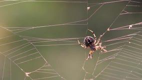 Spindeljakt i en rengöringsduk lager videofilmer