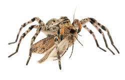Spindeljakt på fjäril Royaltyfria Bilder