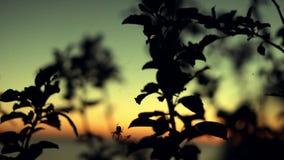 Spindeljakt på solnedgången Sommartid stock video