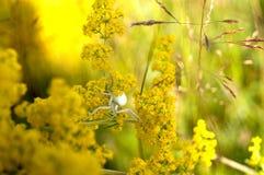 SpindelLatrodectus Royaltyfri Foto