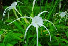 Spindellilja, jätte- lilja, Royaltyfri Bild