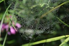 Spindelnät daggdroppar, arkivfoto