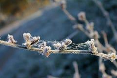 Spindelnät på busken som täckas med frost Royaltyfria Foton
