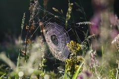 Spindelnät på gräs i morgonen Royaltyfri Fotografi