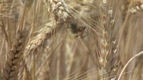 Spindelnätspindel i ett vetefält arkivfilmer