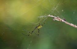 Spindeln Fotografering för Bildbyråer