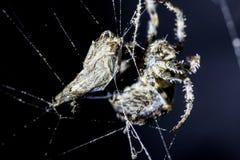 Spindeln anfaller fjärilsoffer i rengöringsduk för spindel` s på svart bakgrund Spindeldjur i rengöringsduken Extremt slut upp ma royaltyfria bilder