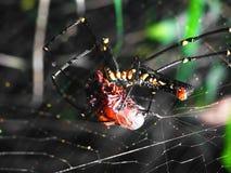 Spindeln anfaller offret arkivfoto