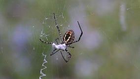 Spindeln (Argiopetrifasciata) knäcker ner med flugan Del 6: Spindeln introducerar gift in i lager videofilmer