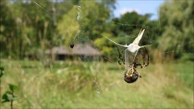 Spindeln fångar gräshoppan i rengöringsduk-, svart- och gulingArgiope arkivfilmer
