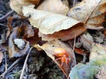 spindeln för quadratusen för Fyra-fläcken orb-vävaren araneusen sitter i en rengöringsduk på ett blad arkivfoto